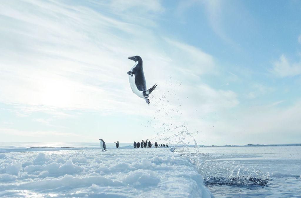 Ein Bild für die Ewigkeit: ein Pinguin springt in die Luft, um vom Wasser aufs Eis zu gelangen, und der Fotograf drückt im richtigen Augenblick auf den Auslöser. Foto: Vincent Munier