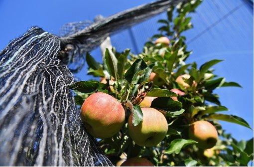 Obstbauern starten Apfel-Ernte