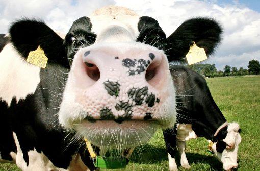 """Ausgewiesene Kühe """"stehen der Gülle Bewegung nahe"""""""