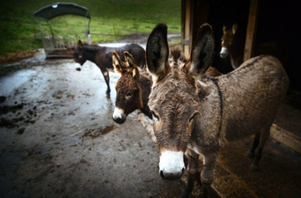Einige tierische Bewohner gibt es auf dem Finkenberg schon, wie etwa diese Esel. Sie gehören allerdings zu einem privaten Beweidungsprojekt und werden vorerst allenfalls Zaungäste der Jugendfarm sein Foto: Gottfried Stoppel