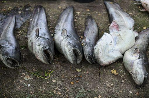 Ursache für rätselhaftes Fischsterben ist geklärt