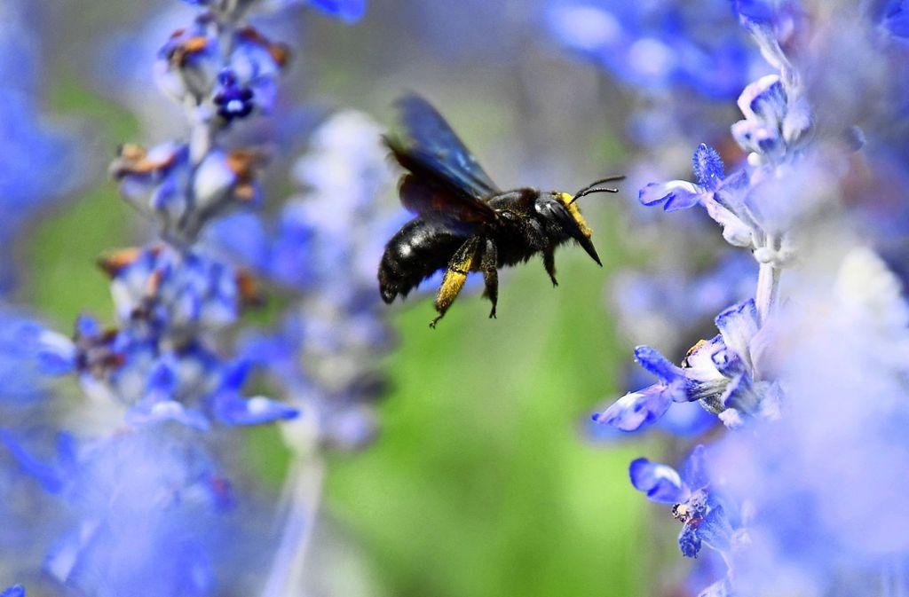 Einige Wildbienenarten sind nur ungefähr halb so groß wie Honigbienen. Auch deswegen haben sie es schwerer als ihre Artgenossen. Foto: dpa