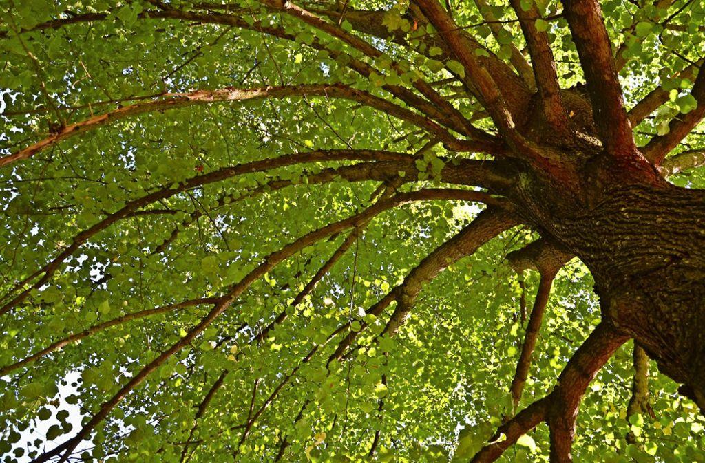 Die Stadtbäume brauchen dringend Wasser. Jeder Anwohner kann helfen, in dem er die Bäume in seiner Nähe gießt. Foto: Archiv  Hintermayr