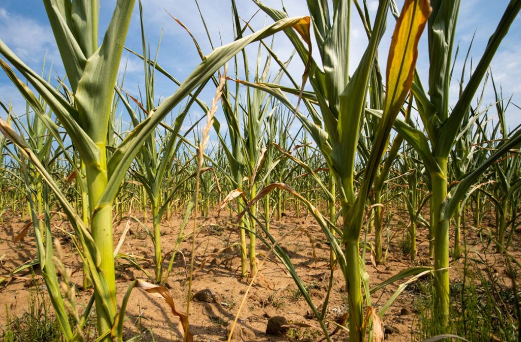 Dieses Maisfeld ist durch die Dürre stark beschädigt. Foto: dpa