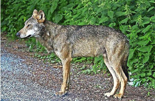 Kopfgeld auf den Wolfsschützen