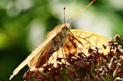 Der stille Tod der Schmetterlinge