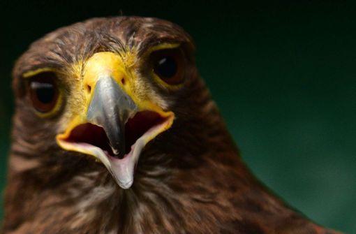 Adler holt Drohne vom Himmel