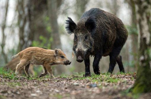 Auch Politik warnt vor der Wildschwein-Plage