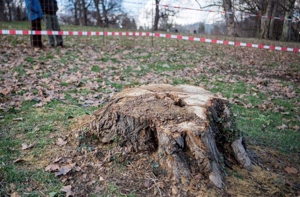 Der manipulierte Baum beim Rosensteinpark. Hier fanden die Arbeiter eine Flasche mit Käferresten. Foto: dpa