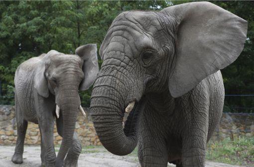 Warschauer Zoo studiert Wirkung von Hanföl auf gestresste Elefanten