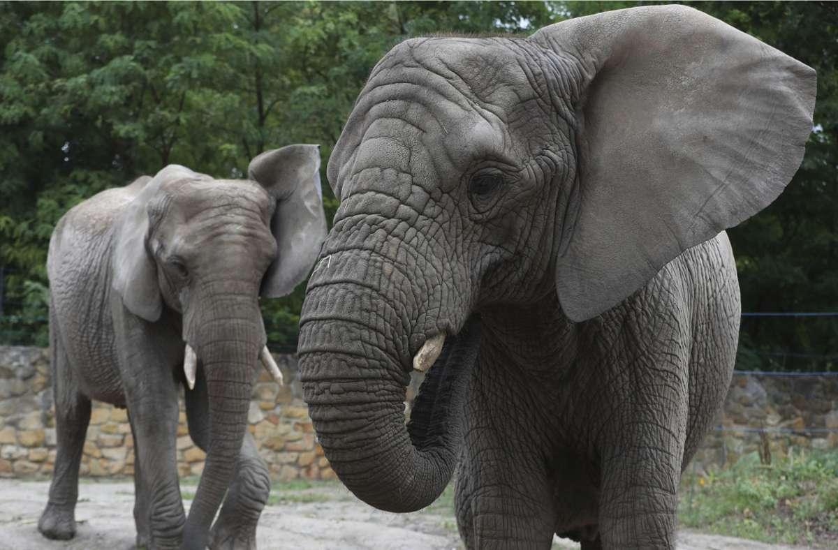 Die Elefanten habe sie als Testgruppe ausgewählt, weil sie in jüngster Zeit ziemlich viel Stress gehabt hätten. Foto: AP/Czarek Sokolowski