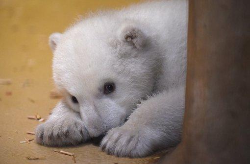 Putziges Eisbär-Baby verzaubert das Land