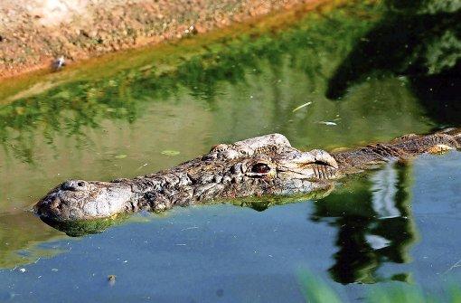 Krokodil reißt Frau in den Tod