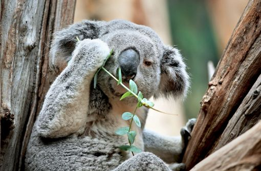 Zoobesucher dürfen bald Koalas bewundern