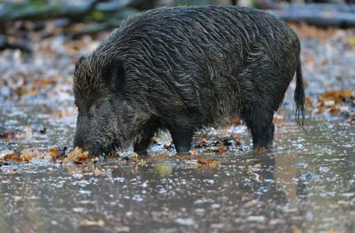 4.2.: Wildschwein auf Konfrontationskurs