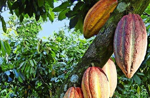 Eine Million  Kakaofrüchte will Ritter auf der firmeneigenen Plantage in Nicaragua pro Jahr ernten. Dafür wird sogar eine spezielle Erntemaschine entwickelt. Foto: Ritter Sport