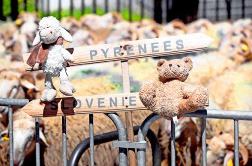 Kampf um Bären in den Pyrenäen