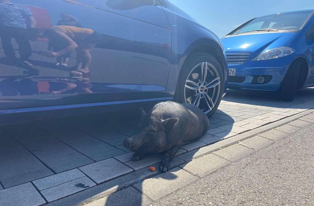 Das Hausschwein nascht eine Karotte. Foto: Polizeipräsidium Ludwigsburg
