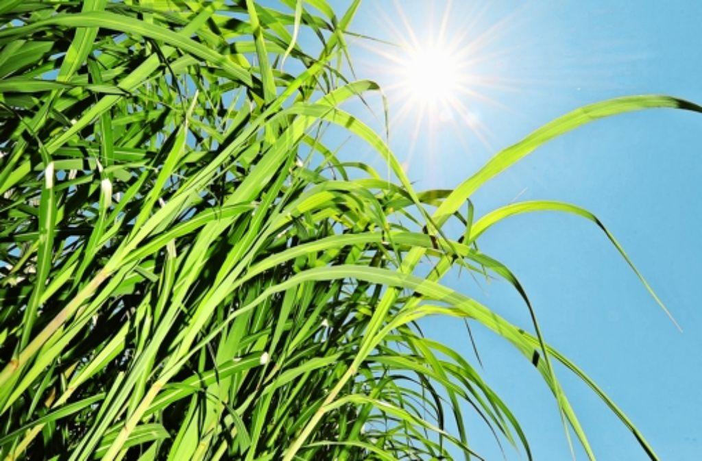 Die ostasiatische Energiepflanze Miscanthus wird auch künftig ein wichtiger Bestandteil der Hohenheimer Forschung sein. Foto: dpa
