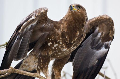 Reisefreudige Adler verursachen hohe Kosten  – Spendenaufruf gestartet