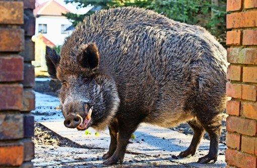 Rätselhafter Tod von neun Wildschweinen im See