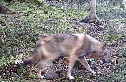 Nur ein Wolf im Südwesten - aber Nabu wirbt für Herdenschutzhunde