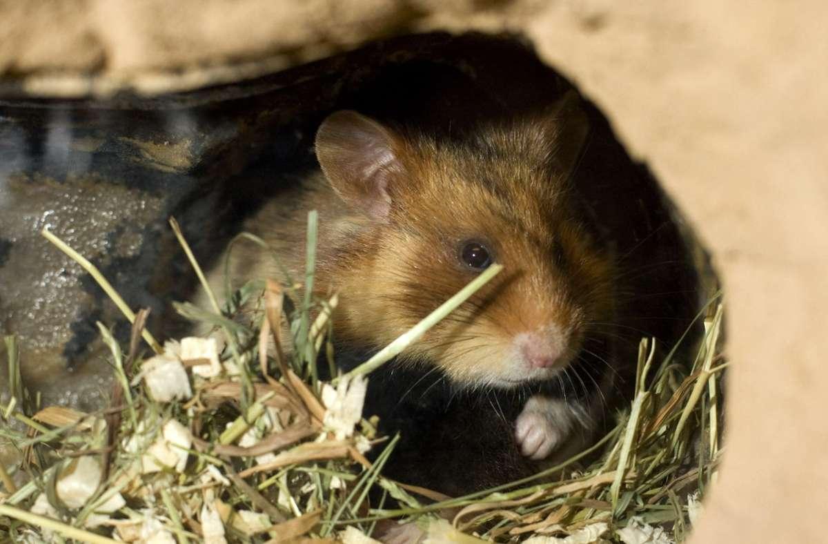 In der Corona-Krise wurden in manchen Tierheimen  Kleintiere häufiger vermittelt. (Symbolfoto) Foto: AP/Joerg Sarbach