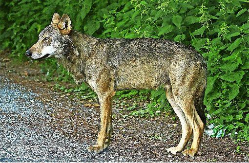 Nabu sucht den Wolfstöter