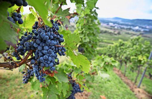 Viel Zuversicht wenige Tage vor  der Weinlese