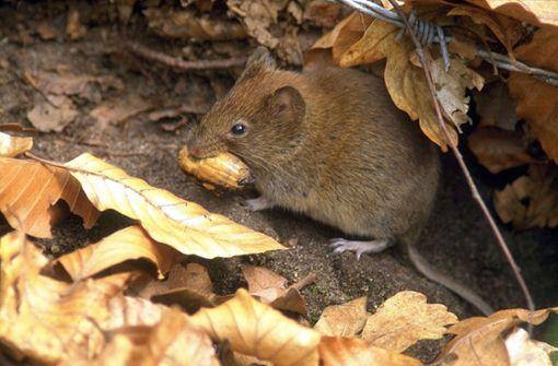 Mäuse sorgen für Verwaltungsumzug