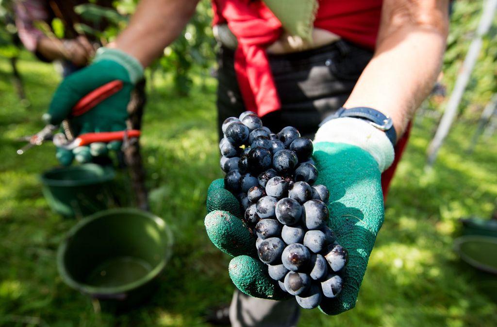 Die Weinlese läuft bei vielen Betrieben bereits in vollem Gange. Foto: Ines Rudel