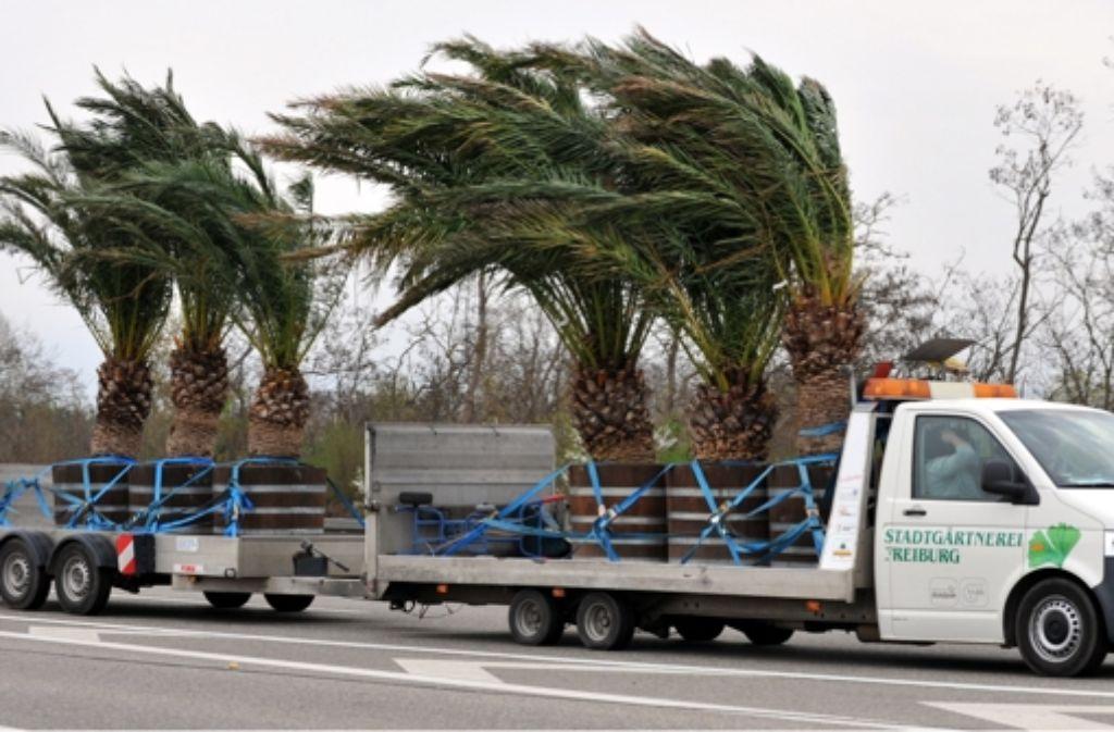 Palmen dürften im Südwesten Deutschlands heimisch werden. Foto: dpa