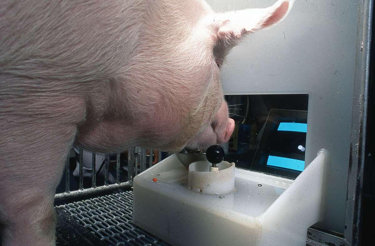 Ein Yorkshire-Schwein bedient den Joystick: Schweine können einer neuen Untersuchung zufolge Computerspiele bedienen –  per Joystick. Foto: Eston Martz/Pennsylvania State University/Frontiers in Psychology/dpa