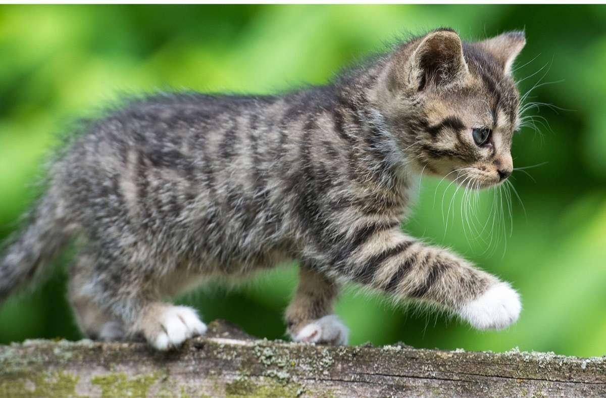 So ein putziges Kätzchen würde man am liebsten einfach behalten – aber dürfte man das auch? Foto: dpa/Patrick Pleul