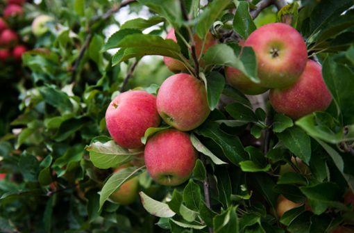 Fleißige Helfer retten Äpfel vor dem Vergammeln