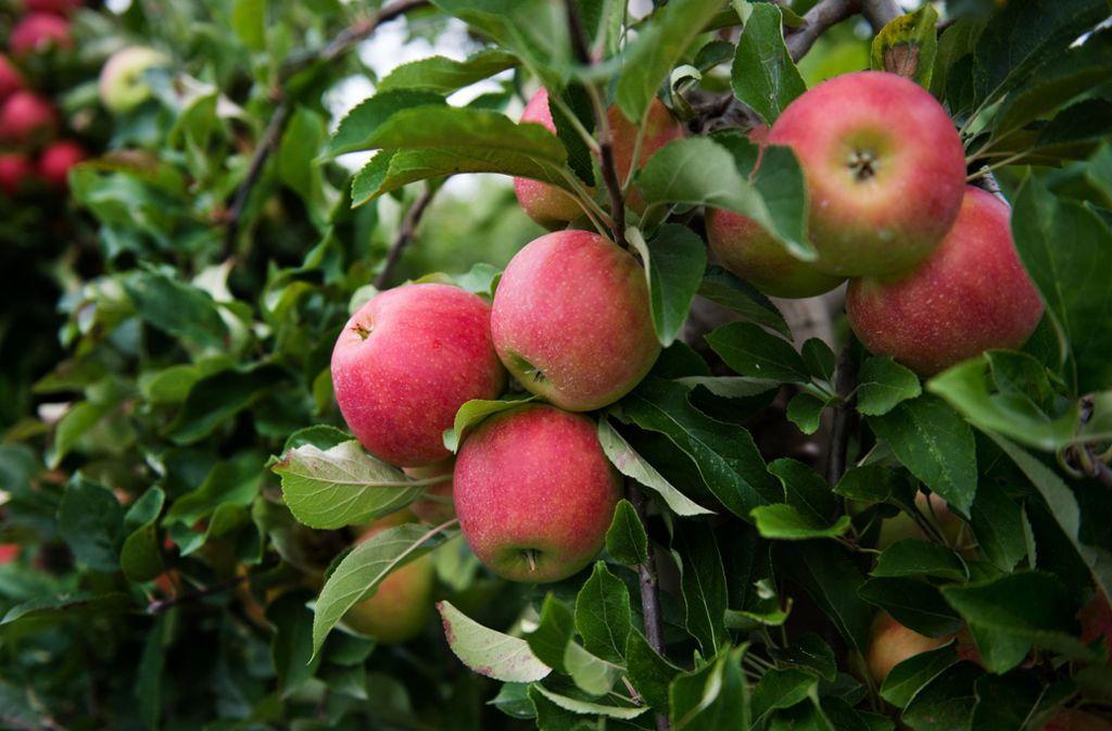 Die Apfelbäume im Land tragen viele Früchte. Foto: dpa-Zentralbild