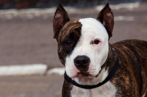 Kampfhunde beißen Hund tot – 82-jähriges Herrchen verletzt