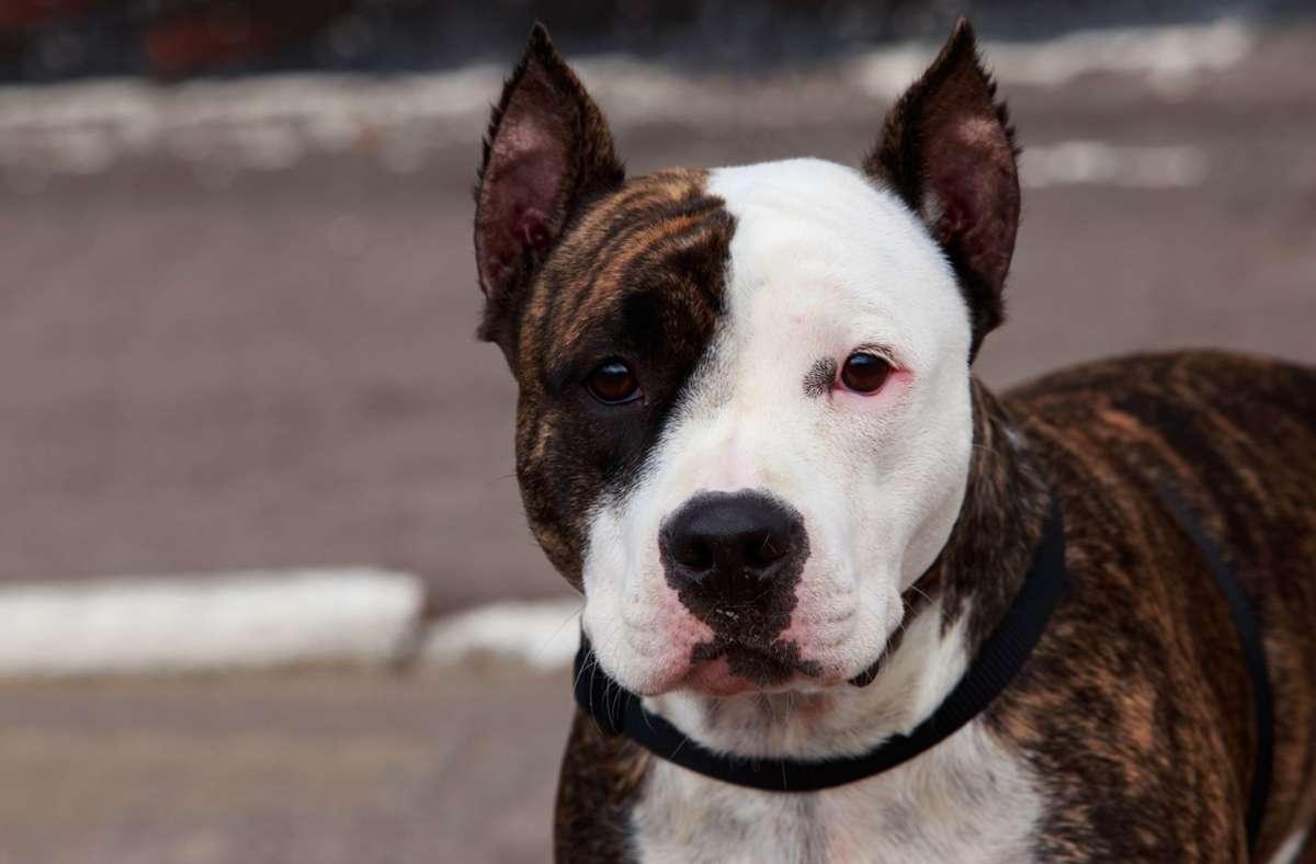 Bei den Hunden handelt es sich um American Staffordshire Terrier. (Symbolbild) Foto: imago images/DevidDO