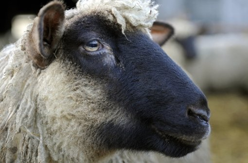 Vier Schafe kamen bei einem Brand ums Leben. Foto: dpa