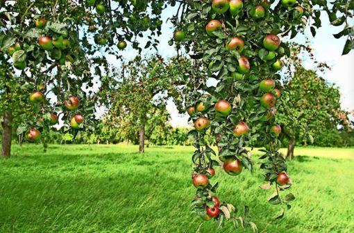 Der Apfelbaum könnte dem Klima noch mehr helfen