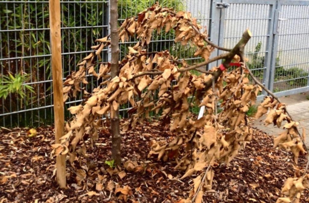 Der Apfelbaum wurde knapp unter der Krone abgezwickt: sein Todesurteil. Foto: privat