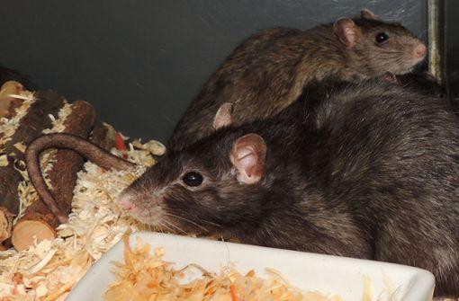 Ratten sind gute Anfängerhaustiere