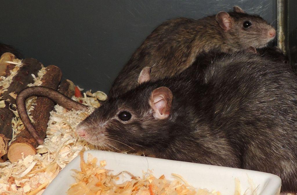 Die Tierheimleiterin empfiehlt Ratten als Haustiere für Kinder: Sie werden schneller zahm als Kaninchen oder Meerschweinchen und sind sehr intelligent. Zudem suchen sie die Gesellschaft des Menschen.  Foto: Tierheim Stuttgart
