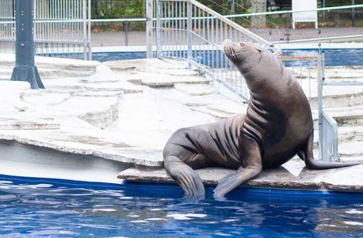 Seelöwen kehren in ihre frisch sanierte Anlage zurück
