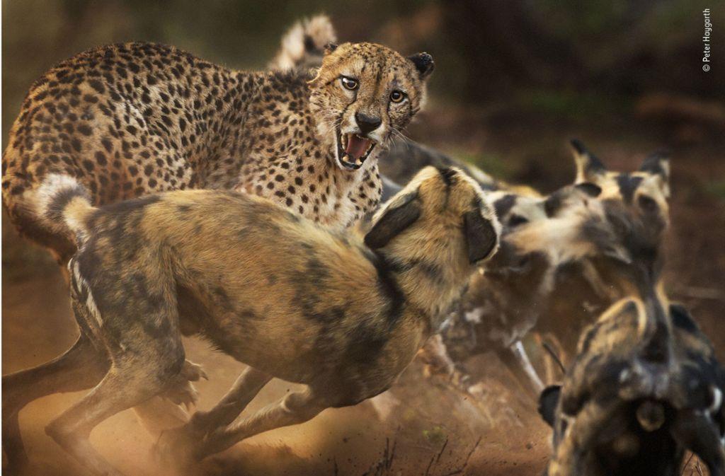 Ein Gepard wird bei der Jagd von Wildhunden abgedrängt. Foto: Peter Haygarth