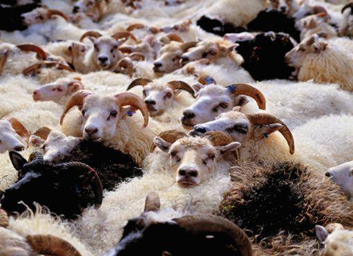 Wenn die Schafe unruhig werden
