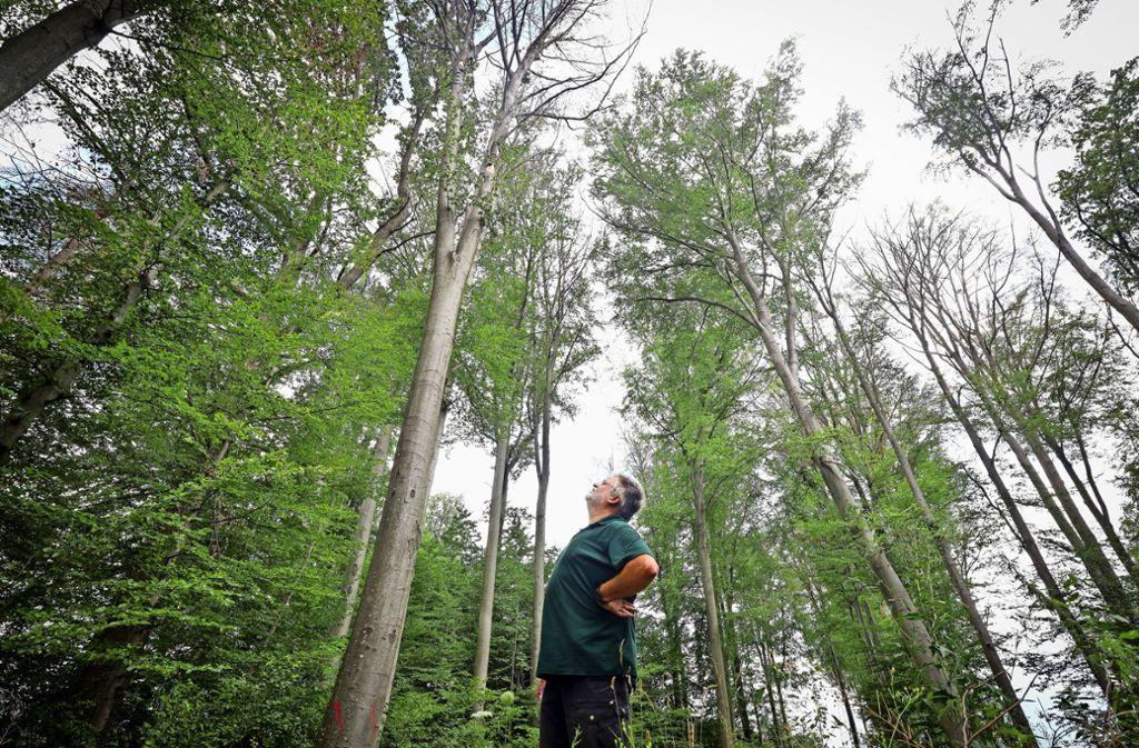 Revierförster Steffen Frank im Zeilwald bei Hemmingen: Hier gibt es  die größten Schäden an Buchen im Landkreis. Foto: