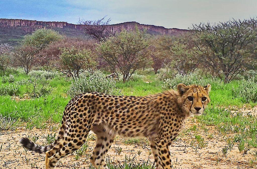 Volltreffer: Dieser Gepard hat sich von der Kamerafalle besonders schön ablichten lassen. Weitere Schnappschüsse aus der Savanne finden Sie in unserer Bildergalerie. Foto: privat/AGA