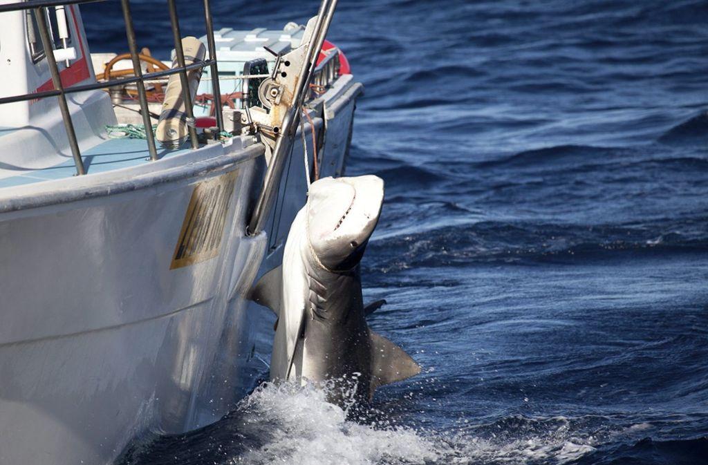 Ein gefangener Tigerhai hängt an einem Boot vor der Küste Westaustraliens. (Symbolbild) Foto: dpa
