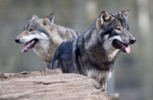 Experten vermuten Wolf hinter der Attacke